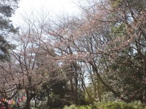 iwatukisakura