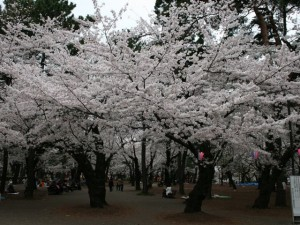 100407_omiyapark_sakura2