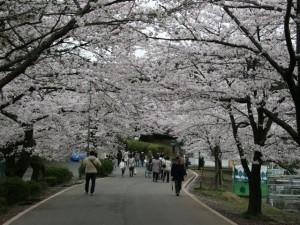 100407_omiyapark_sakura6