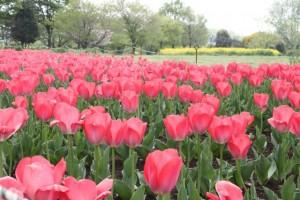 110425_omiya3koen_tulip_001