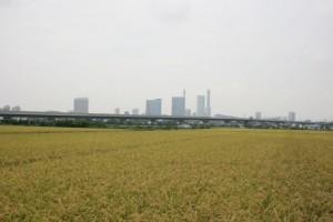 見沼田んぼ初秋風景