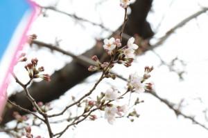 2014mogitate_seinansakuramatsuri_kaika