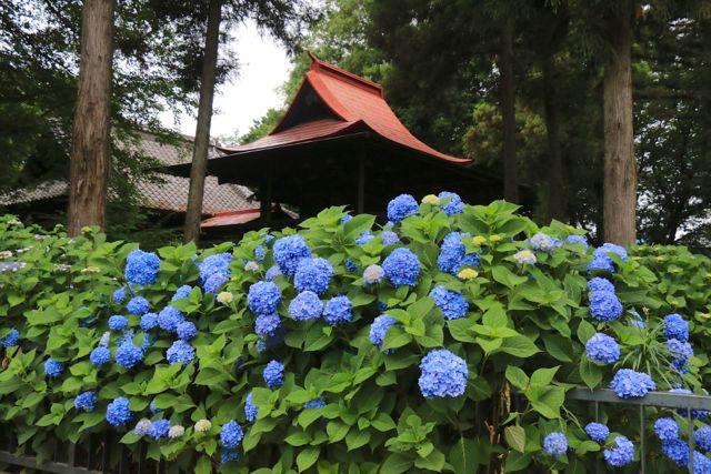 指扇氷川神社の鎮守アジサイ園で「2015指扇アジサイまつり」が開催されます。