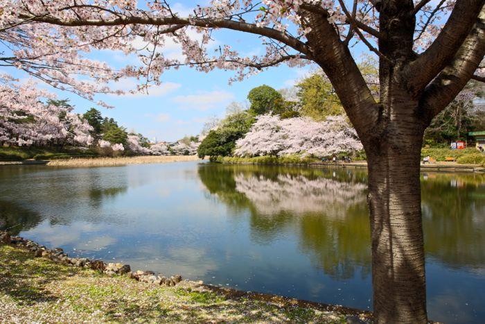 omiyakoen-sakura